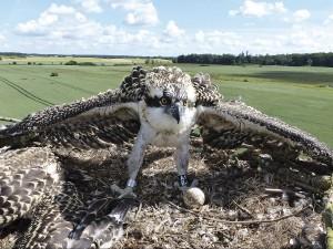 Fischadler bei der Beringung (Foto: A. Baß)