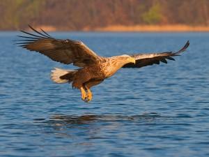 Seeadler (Foto: T. Krumenacker)