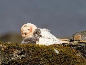 Schneeeulen-Weibchen mit Jungvögeln (Foto: K.-O. Jacobsen)