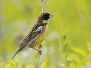 Weidenammer (Foto: U. Schuster/Amur Bird Project)