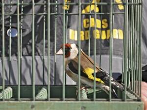 Beschlagnahmter Stieglitz (Foto: Komitee gegen den Vogelmord)